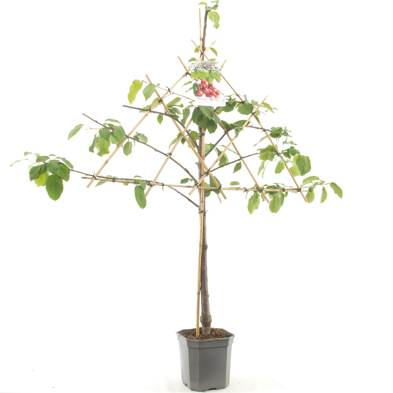 Leikersenboom Prunus avium 'Stella'