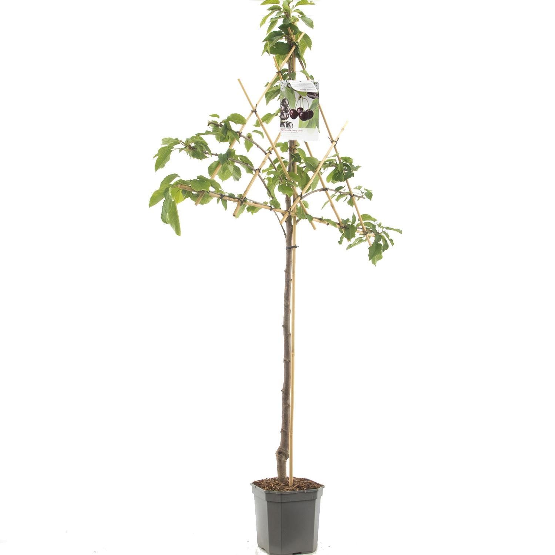 Leikersenboom Prunus avium 'Sunburst'