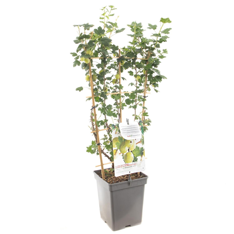 Lei Groene Kruisbes Ribes uva-crispa 'Hinnonmaki grn'