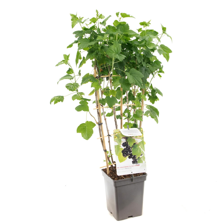 Lei Zwarte Bes Ribes nigrum