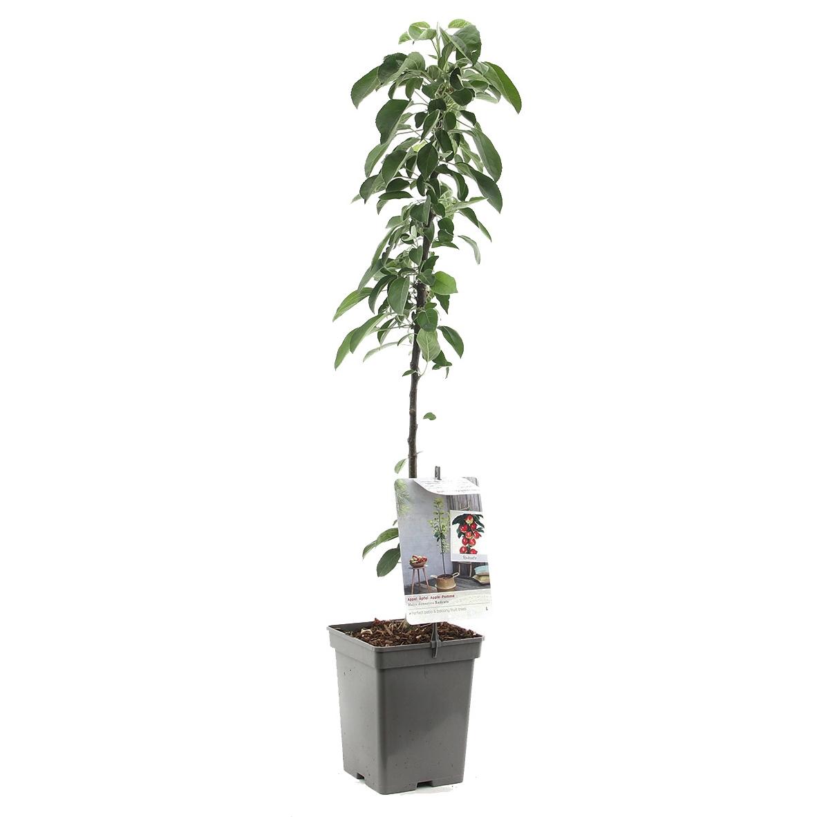 Zuil-appelboom Malus domestica 'Redcats'