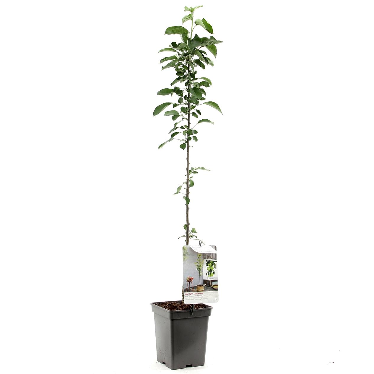 Zuil-appelboom Malus domestica 'Greencats'