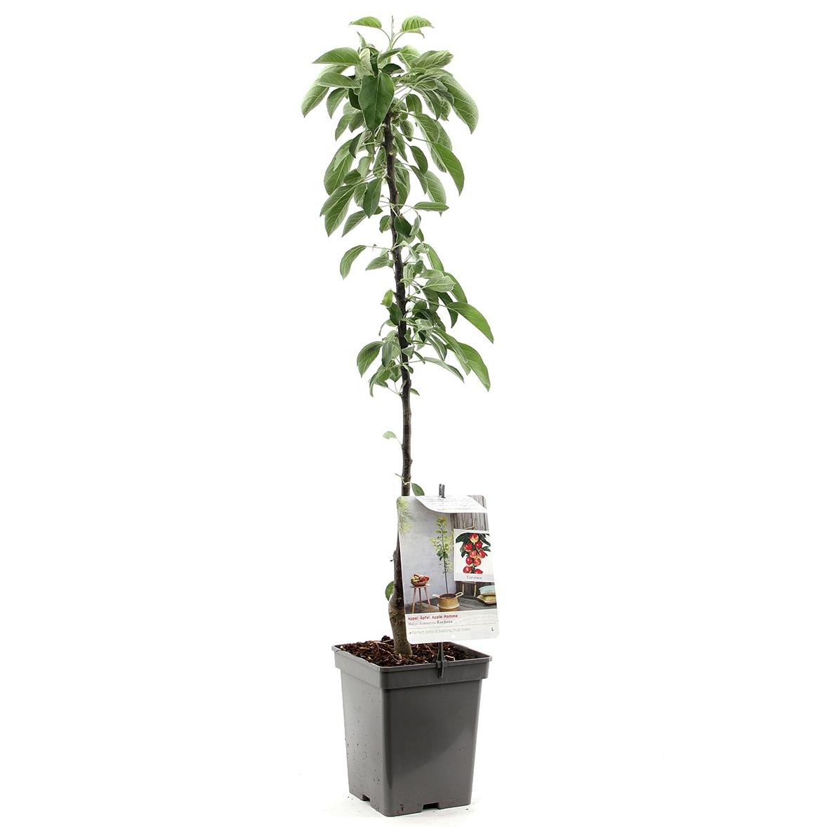 Zuil-appelboom Malus domestica 'Kordona'