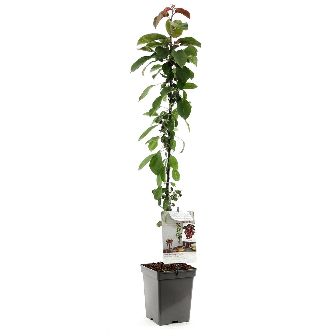 Zuil-appelboom Malus domestica 'Maypole'