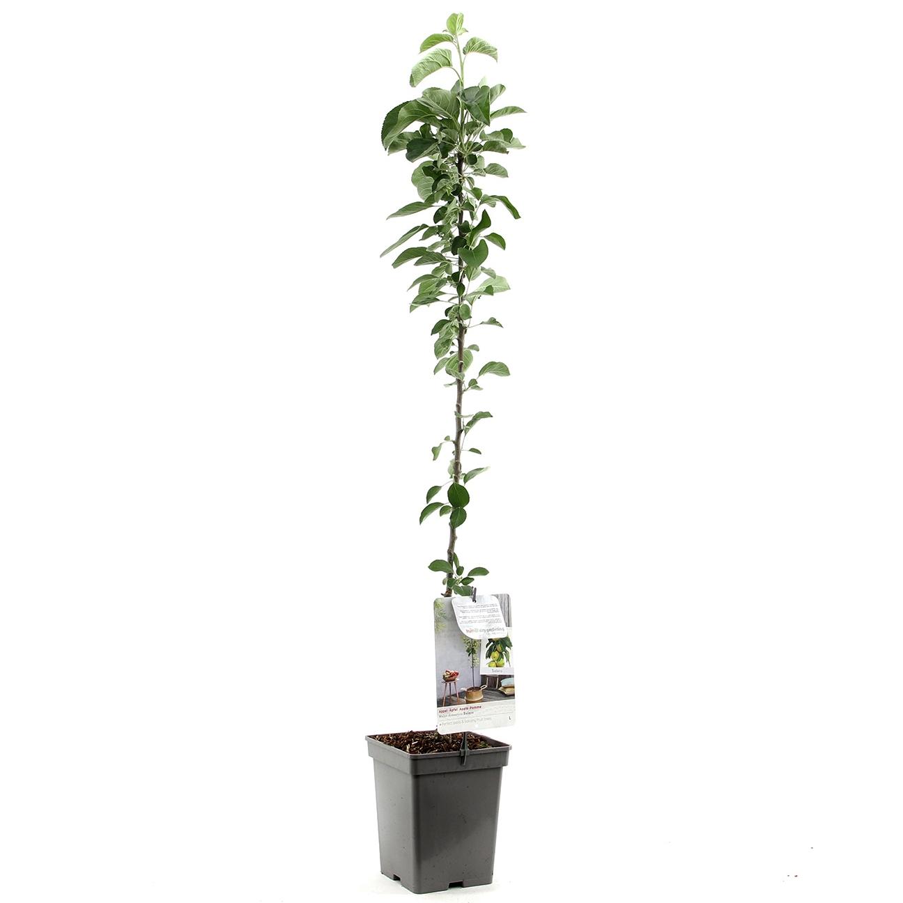 Zuil-appelboom Malus domestica 'Bolero'