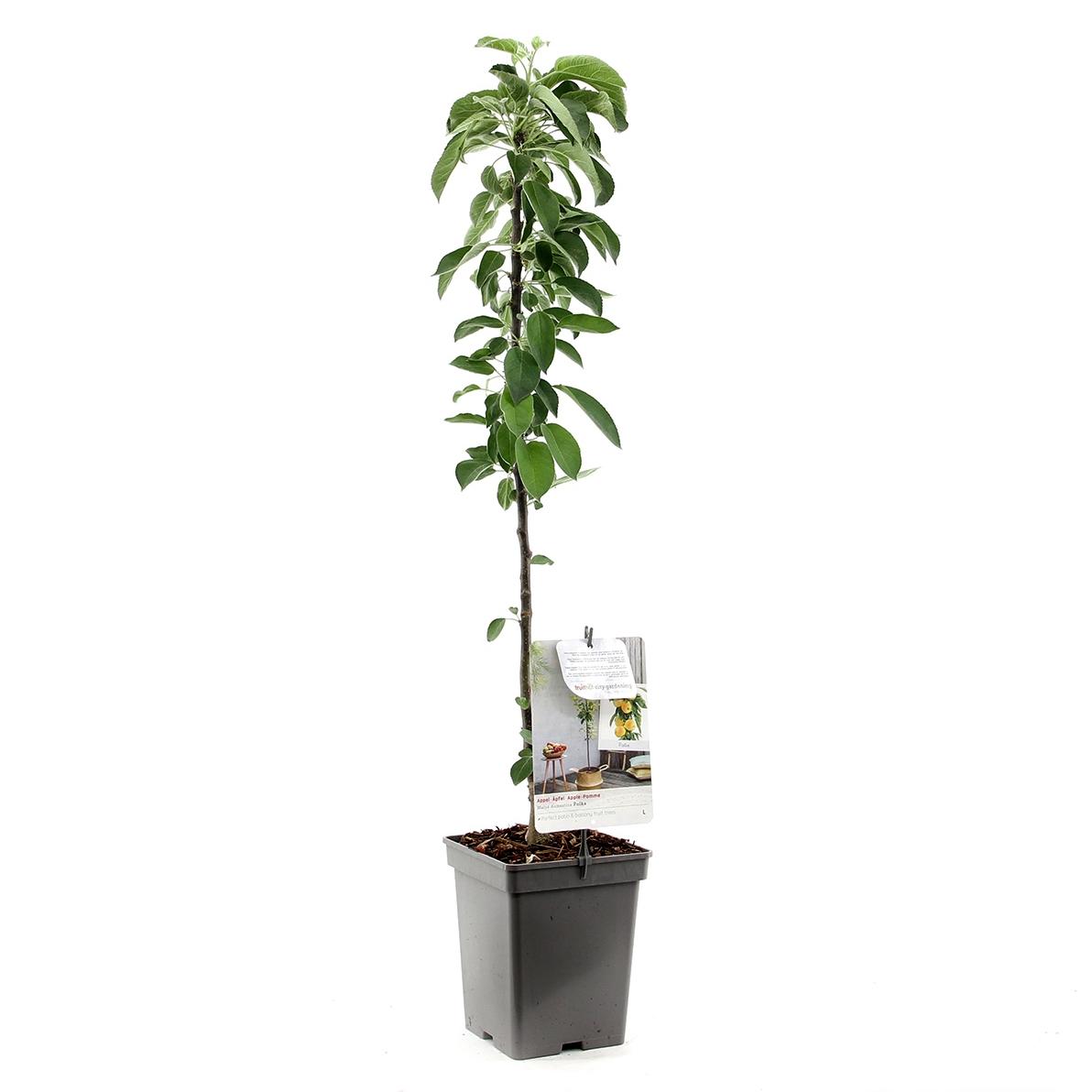 Zuil-appelboom Malus domestica 'Polka'