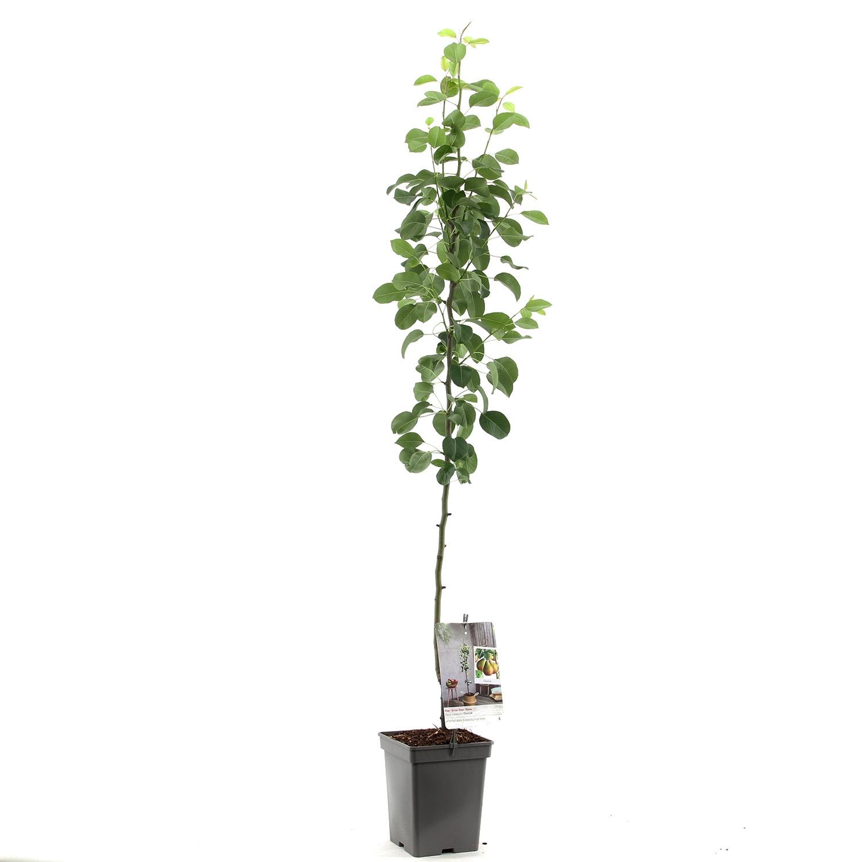 Zuil-perenboom Pyrus communis 'Obelisk'