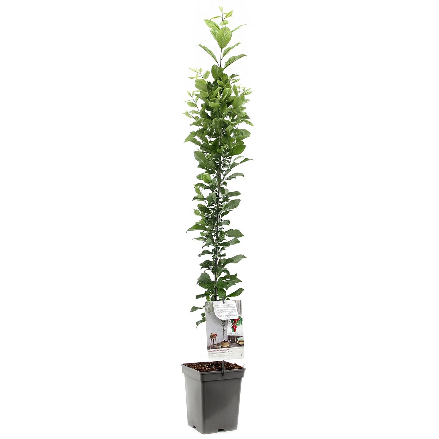 Zuil-pruimenboom Prunus domestica 'Mirabelle Ruby'