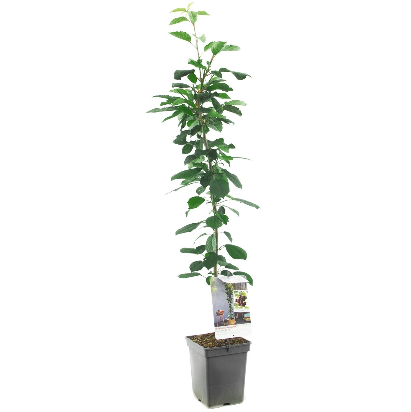 Zuil-kersenboom Prunus avium 'Kordia'