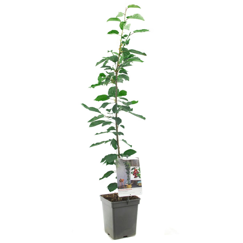 Zuil-kersenboom Prunus avium 'Regina'