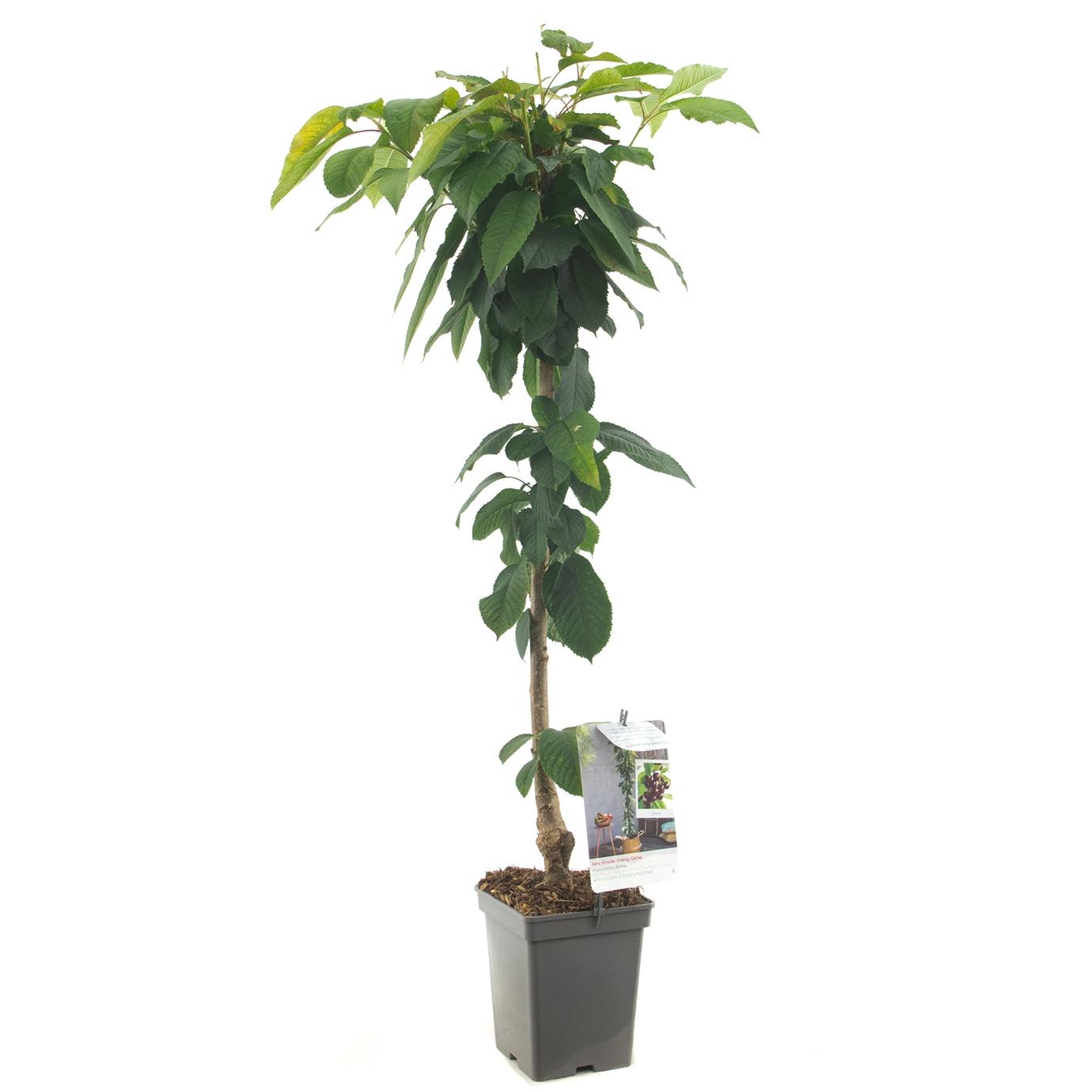 Zuil-kersenboom Prunus avium 'Sylvia'