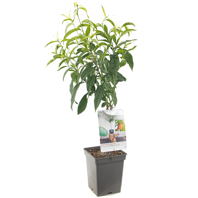 Dwergperzik Prunus persica 'Saturn'