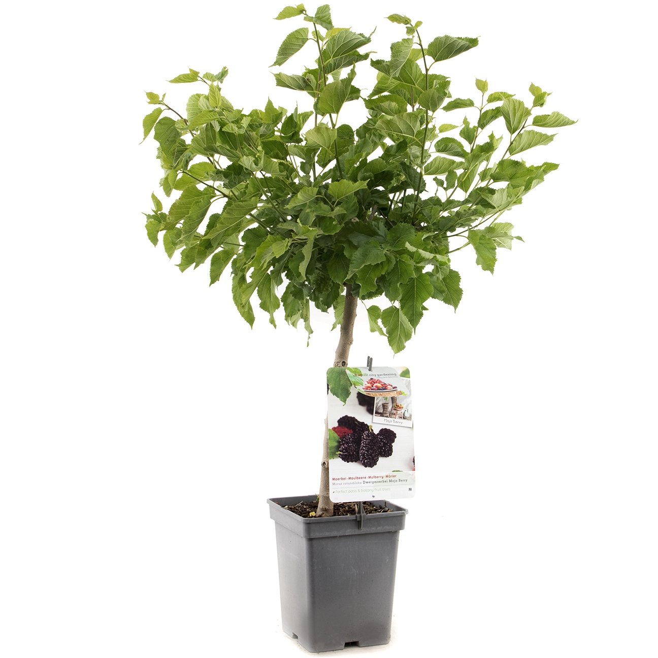 Dwergmoerbei Morus rotundiloba 'Mojo berry'