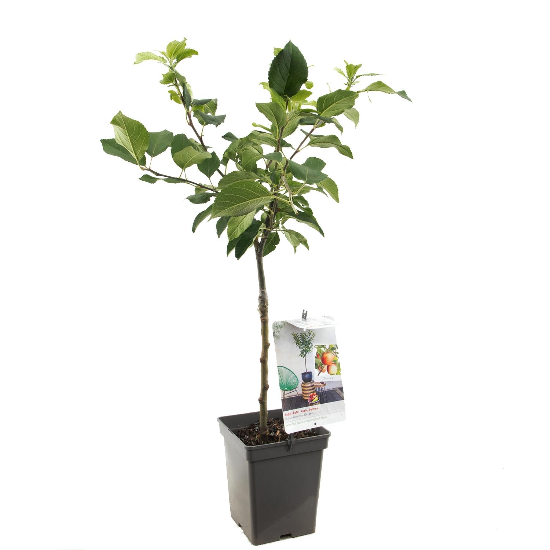 Patio appelboom Malus domestica 'Delcorf'