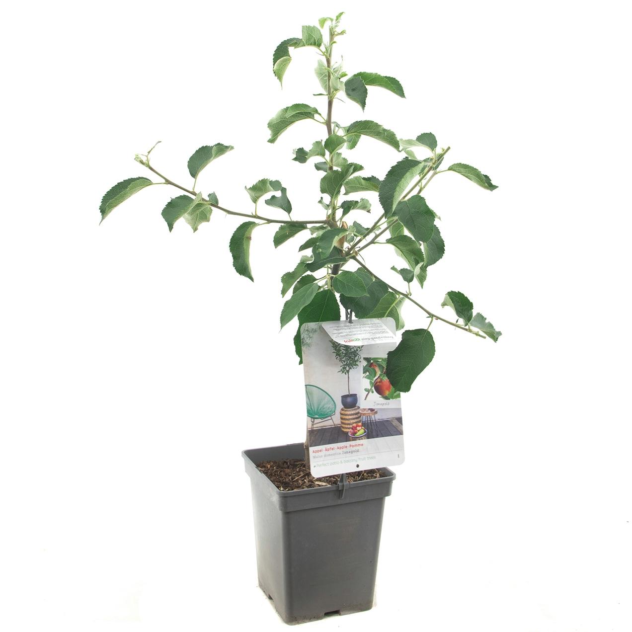 Patio appelboom Malus domestica 'Jonagold'