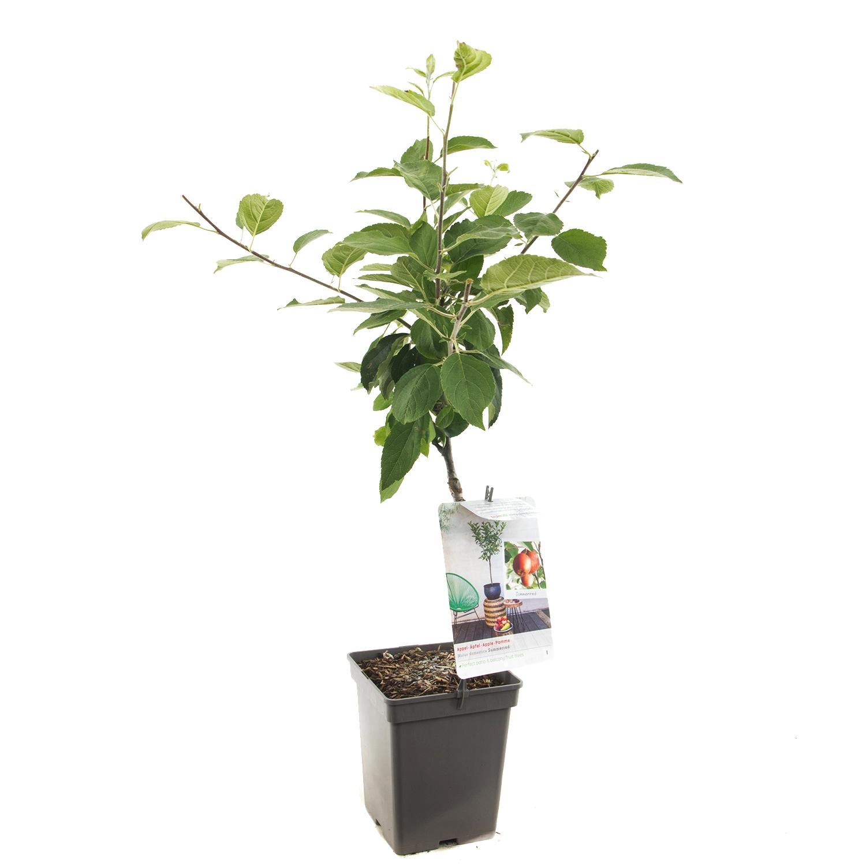 Patio appelboom Malus domestica 'Summerred'