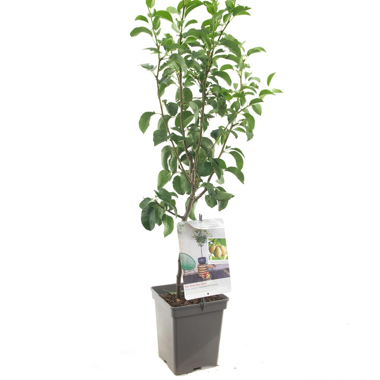 Patio perenboom Pyrus communis 'Doyenne du Comice'
