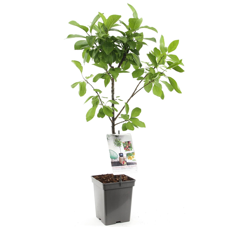 Patio duo-pruimenboom Prunus domestica 'Reine Claude d'Oullins'/ Opal