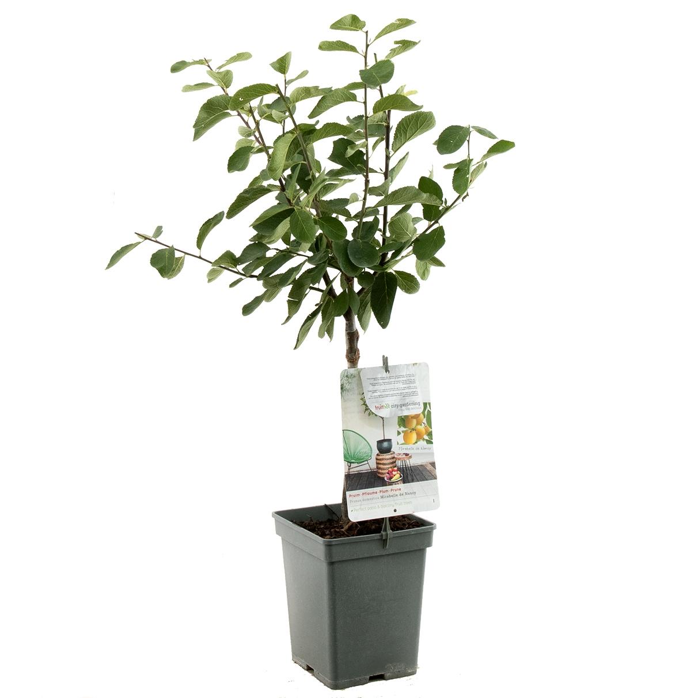 Patio pruimenboom Prunus domestica 'Mirabelle de Nancy'