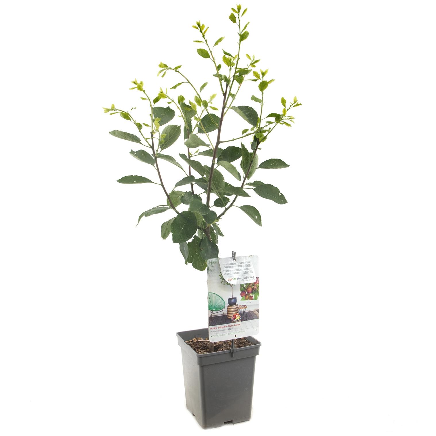 Patio pruimenboom Prunus domestica 'Opal'