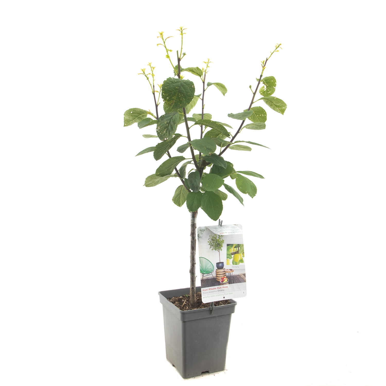 Patio pruimenboom Prunus domestica 'Ontario'