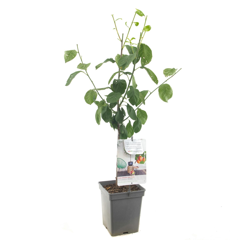 Patio pruimenboom Prunus domestica 'Victoria'
