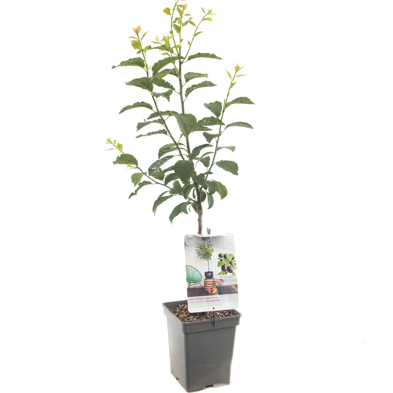 Patio pruimenboom Prunus domestica Hauszwetsche