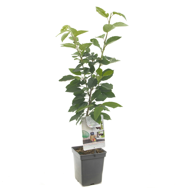 Patio duo-kersenboom Prunus avium Hedelfinger / Dubbele meikers