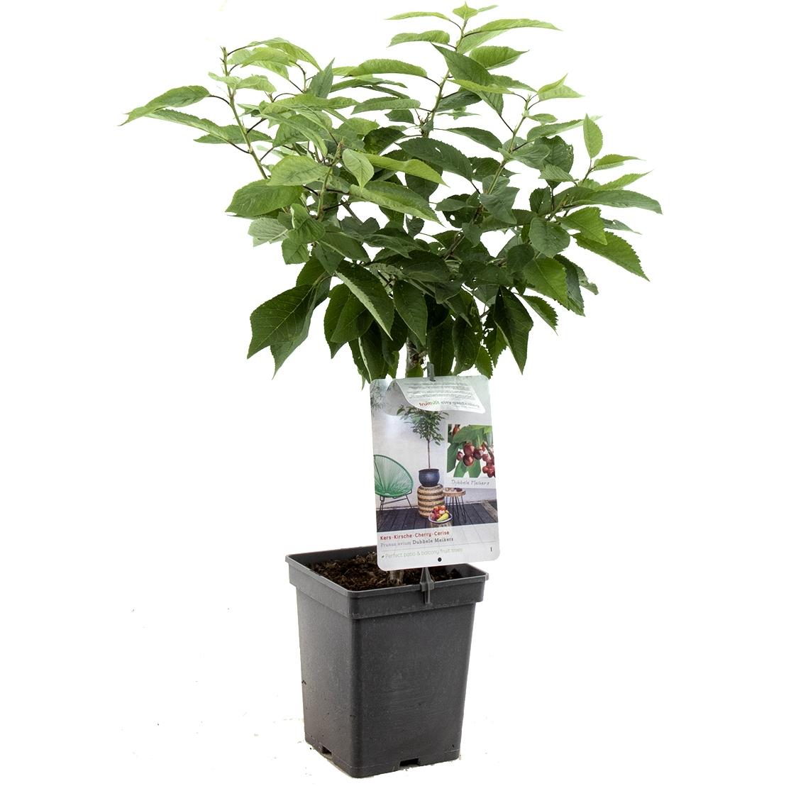 Patio kersenboom Prunus avium 'Dubbele meikers'