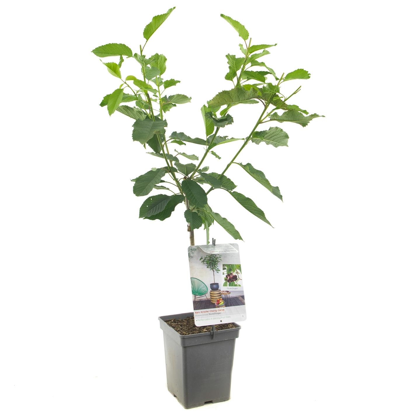 Patio kersenboom Prunus avium 'Hedelfinger'