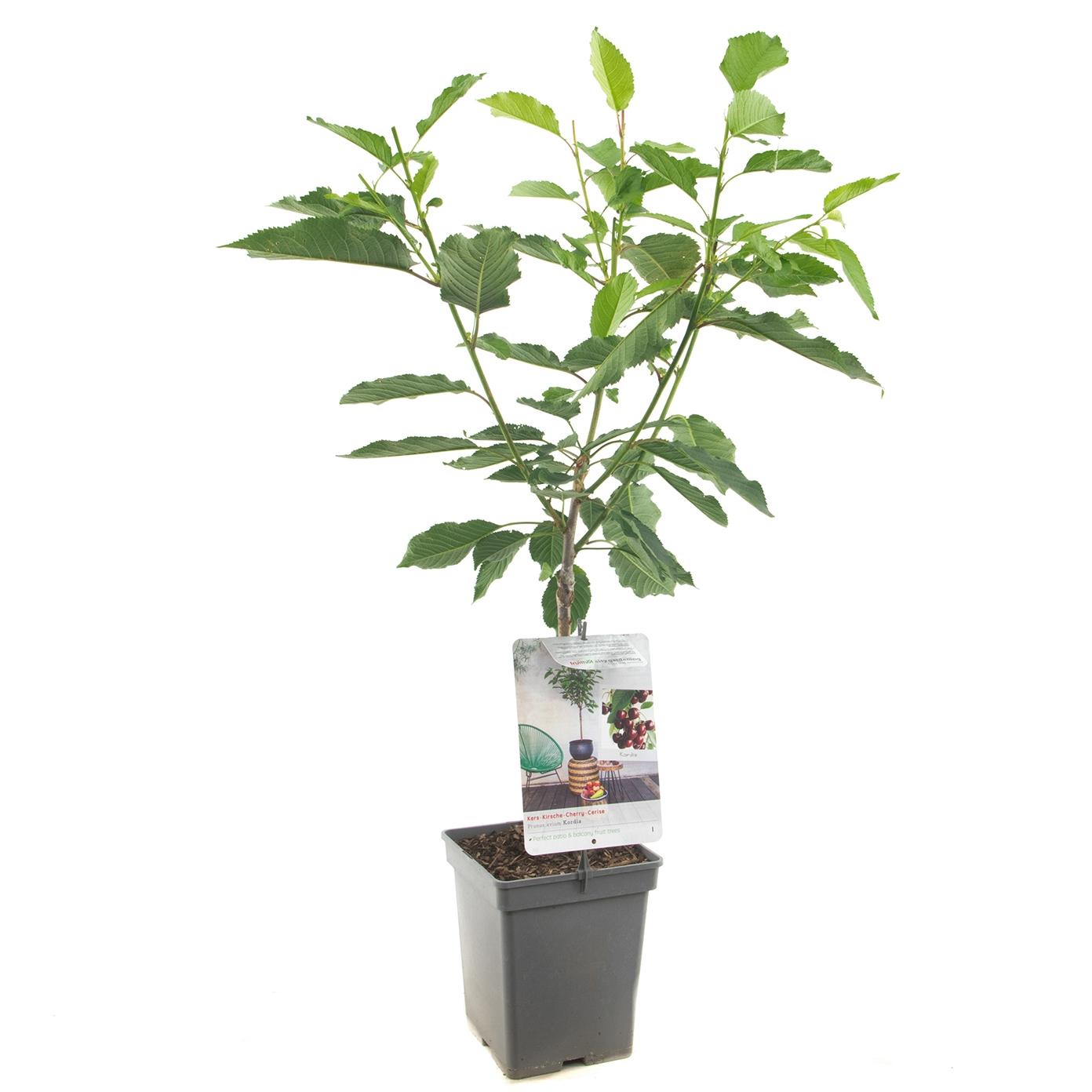 Patio kersenboom Prunus avium 'Kordia'