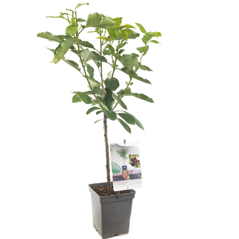 Patio kersenboom Prunus avium 'Lapins'