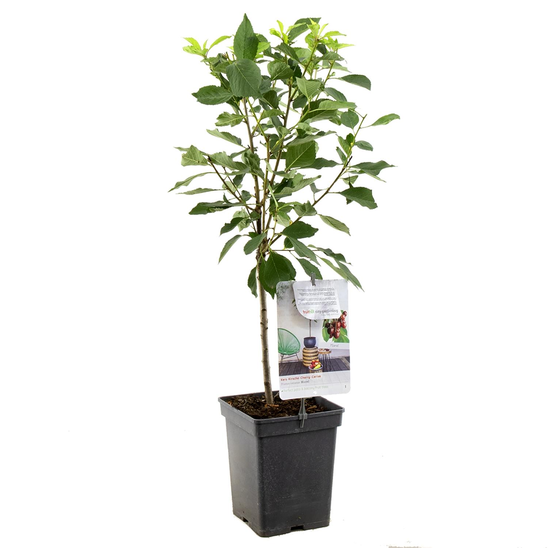 Patio kersenboom Prunus cerasus 'Morel'