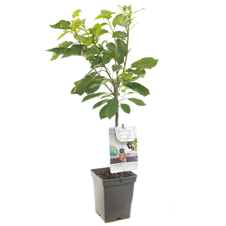 Patio kersenboom Prunus avium 'Regina'