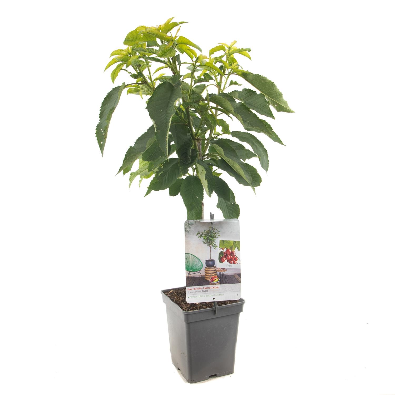 Patio kersenboom Prunus avium 'Stella'