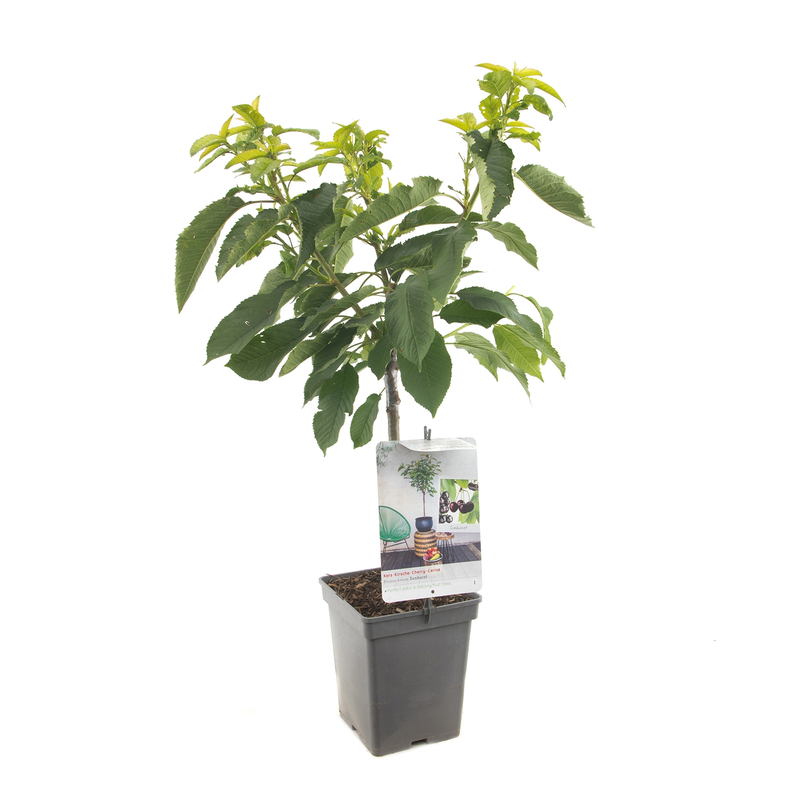 Patio kersenboom Prunus avium 'Sunburst'