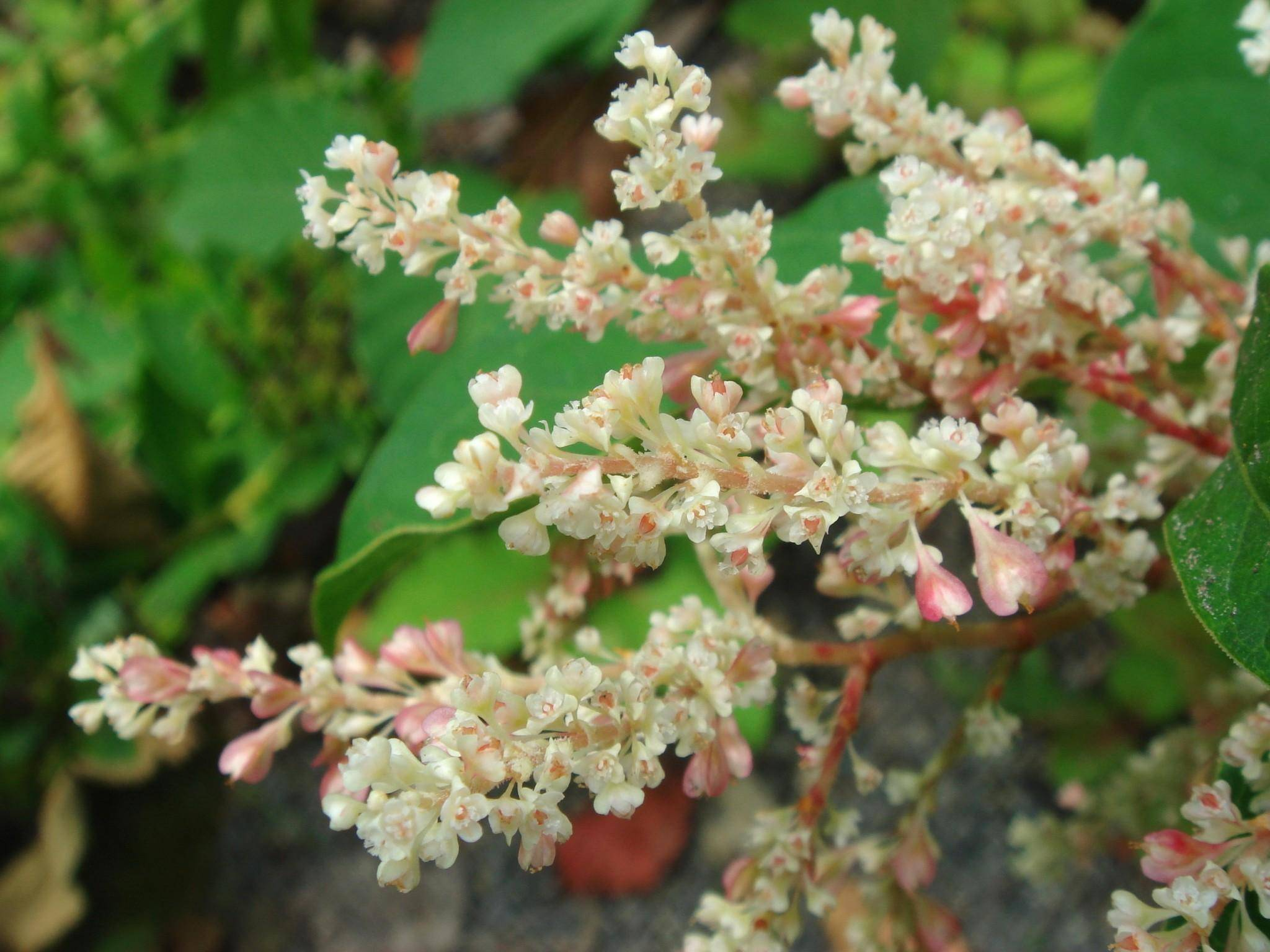 Japanse duizendknoop Fallopia japonica compacta