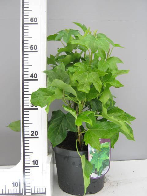 Klimmende vingerplant Fatshedera lizei