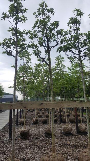 Hoogstam dikke Vijgenboom Ficus carica