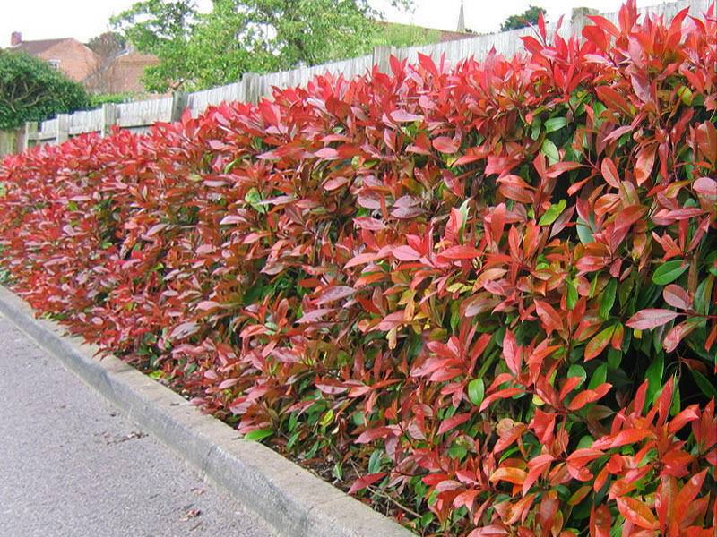 Glansmispel haag Photinia fraseri Red Robin