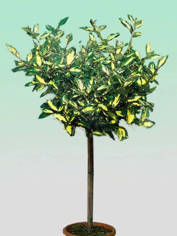 Olijfwilg op stam Elaeagnus pungens 'Maculata' stam