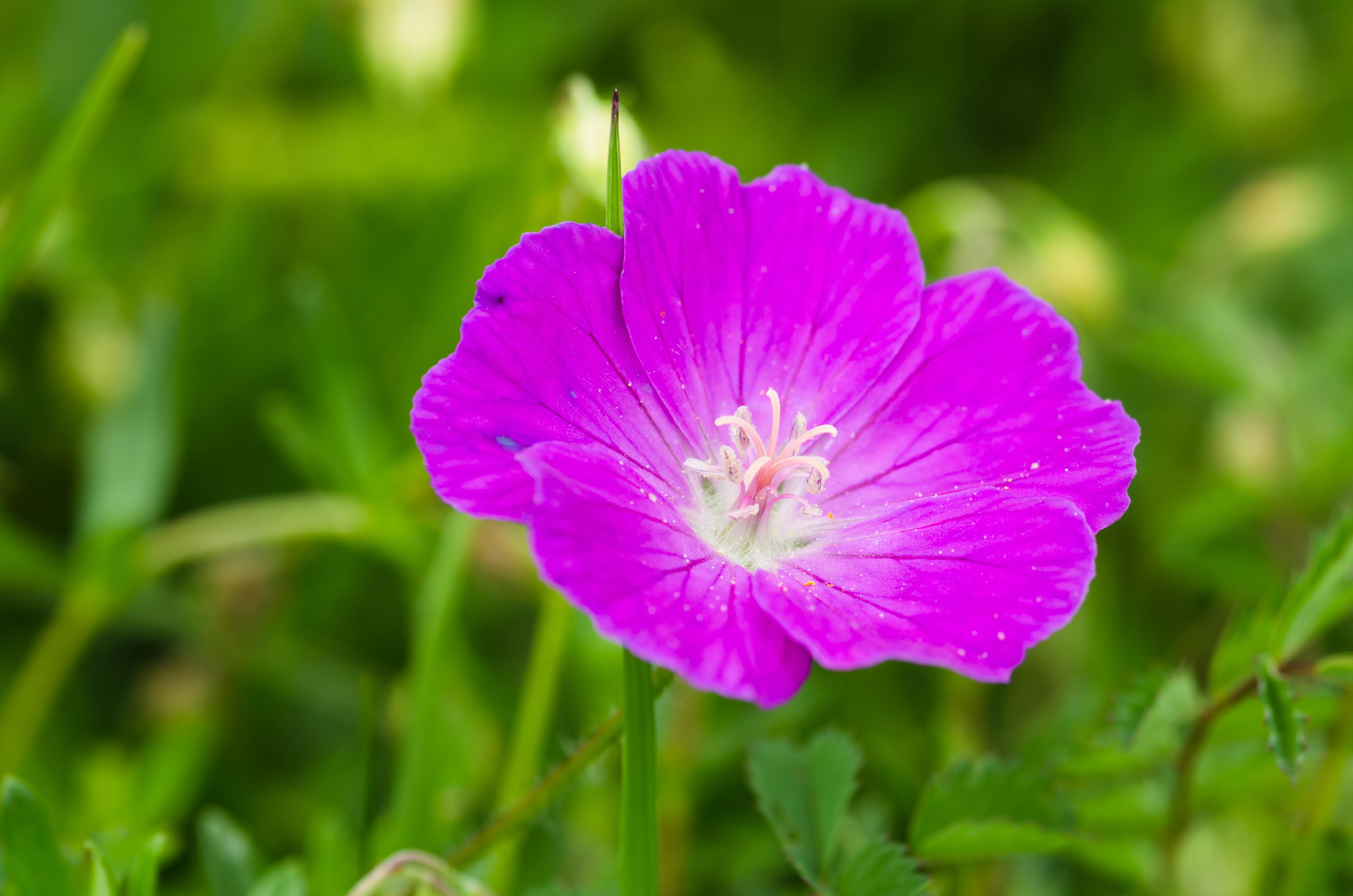 Ooievaarsbek Geranium sanguineum 'Elsbeth'