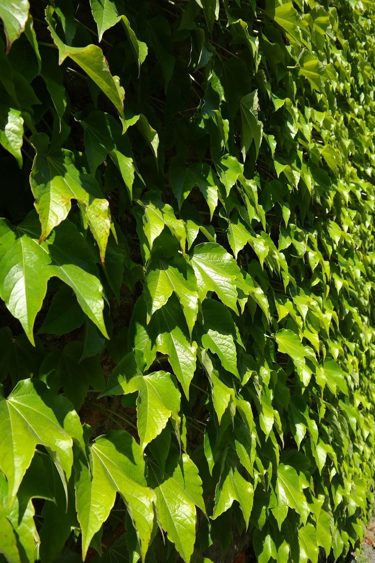 Wilde wingerd Parthenocissus tricuspidata 'Green Spring'