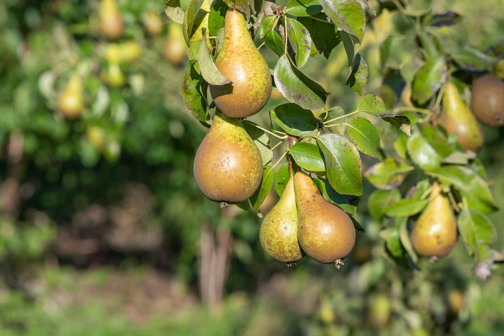 Zuil-perenboom Pyrus communis groene vrucht