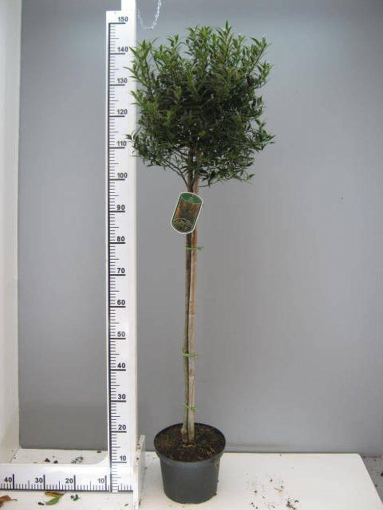 Ananashulst op stam Ilex aquifolium 'Myrtifolia' stam