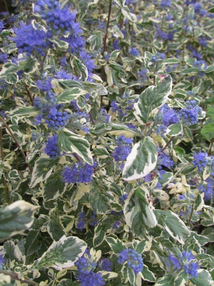 Blauwbaard Caryopteris clandonensis 'White Surprise'