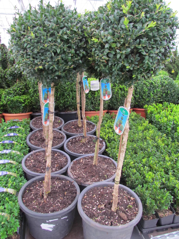 Palmboompje op stam Buxus sempervirens stam
