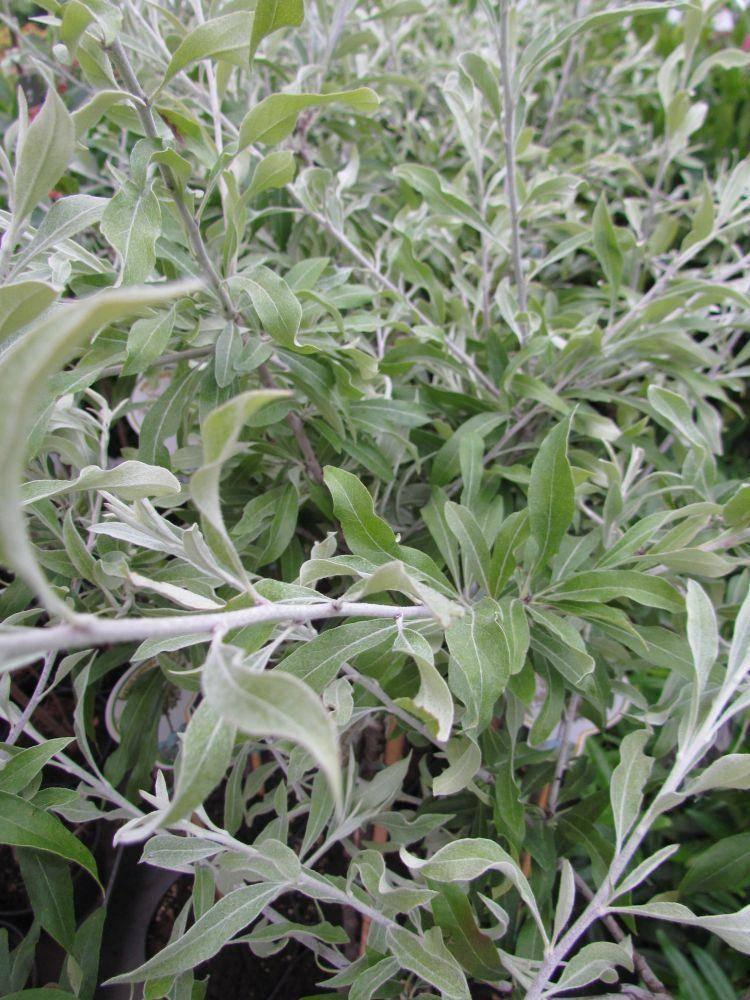Siertreurpeer op stam Pyrus salicifolia 'Pendula' stam