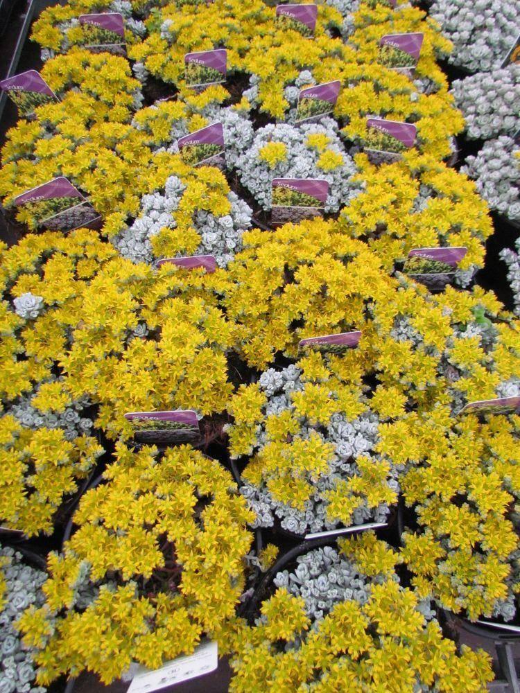 Vetkruid Sedum spathulifolium 'Cape Blanco'