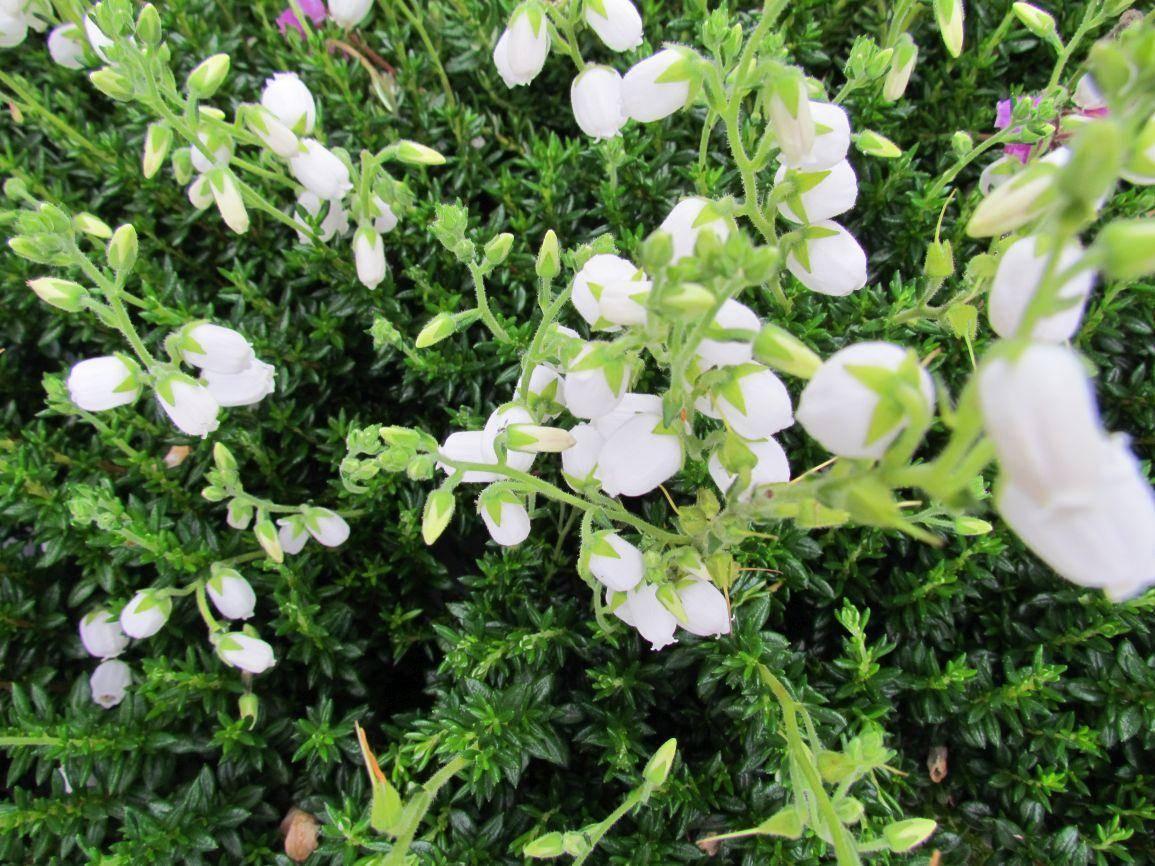 Witte Ierse heide Daboecia cantabrica